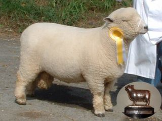Dolwen Dafydd Ryeland Show and Sale Grist Champion - best wool and conformation [2005]