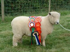 Dolwen C3 2003 Show ewe lamb Pictured at home