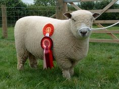 Dolwen Flapjack show ram lamb at home with his rosettes [2005]
