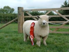 Dolwen F11 show ewe lamb at home with her rosettes [2005]