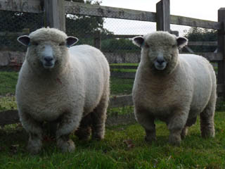 2009 Arberth Judo ram lambs (left Dolwen Lansker sold at Ryeland show and sale for £451.50 and right Dolwen Logo kept for show yearling ram)